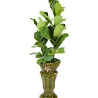 떡갈잎 고무나무 (특호)