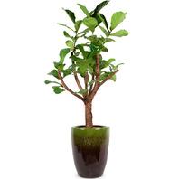 떡갈나무1